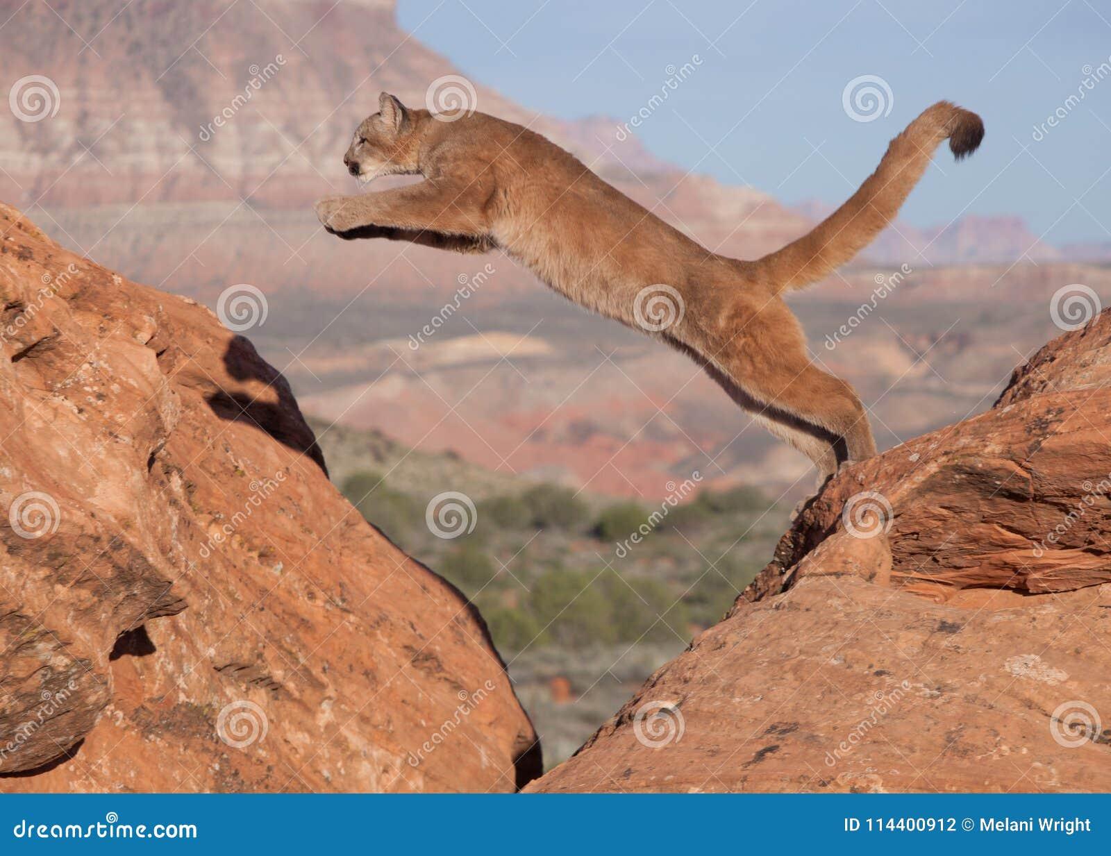 Een jonge poema die van één rood zandsteenkei aan een andere met een zuidwestelijke woestijn springen en mesa op de achtergrond