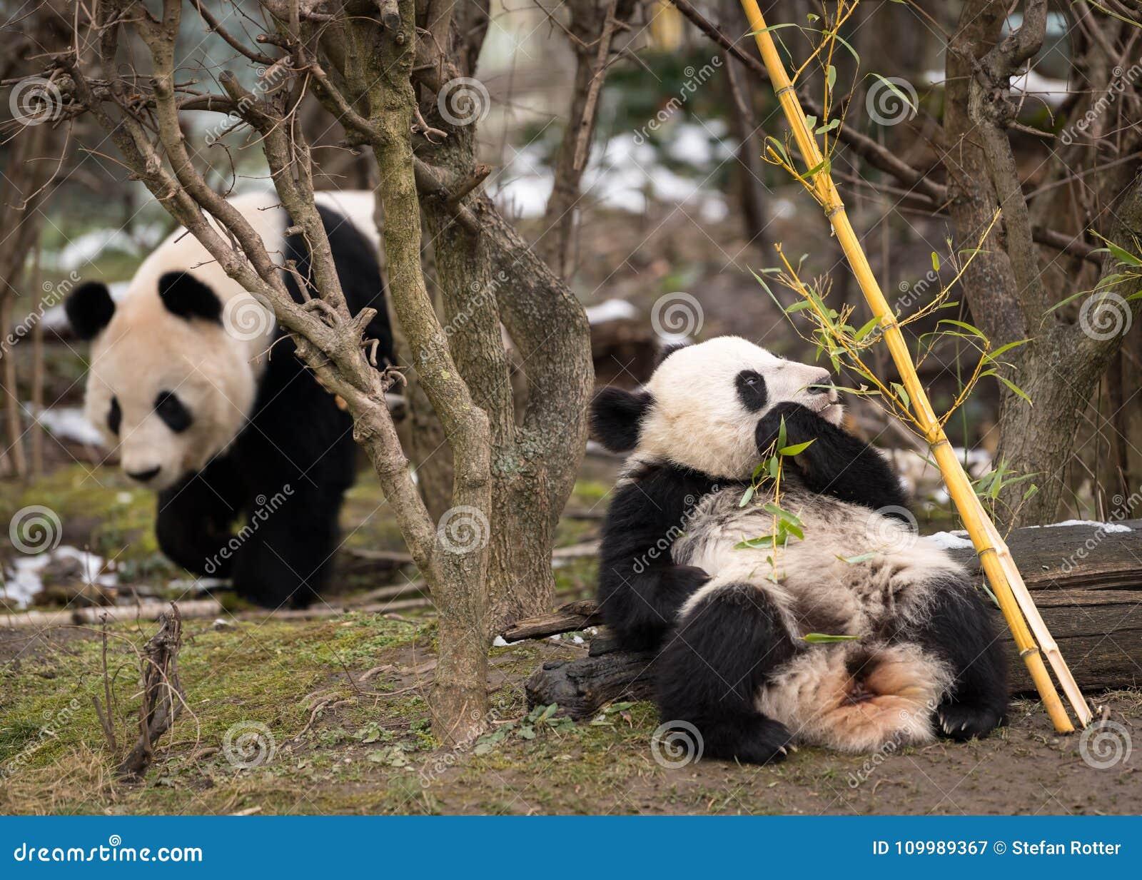 Een jonge reuzepanda die bamboe en zijn moeder eten
