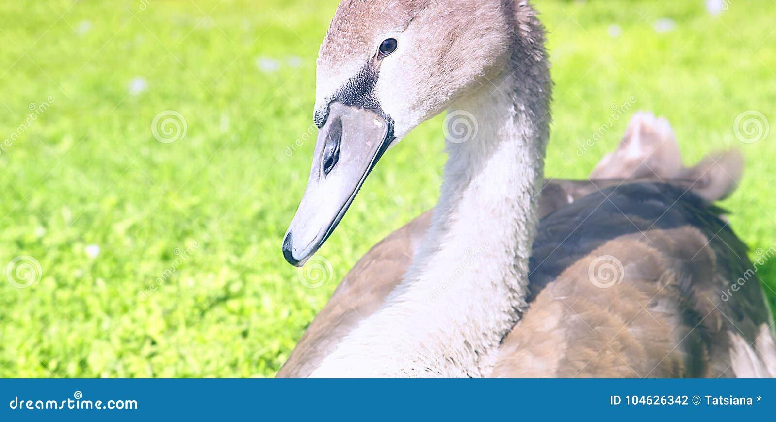 Download Een Jonge Stodde Zwaan, Jonge Zwaan Stock Foto - Afbeelding bestaande uit zeldzaamheid, elegantie: 104626342
