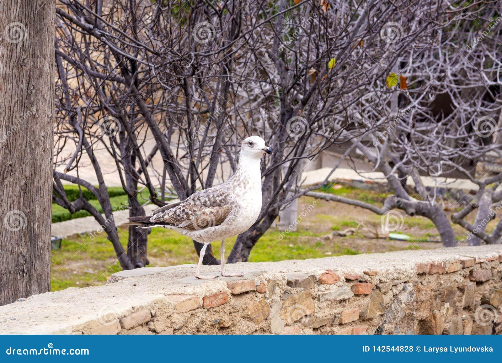 Een jonge zilveren grote meeuw, Larus-argentatus, in een park in de vesting Gibralfaro in de Spaanse stad van Malaga, Spanje