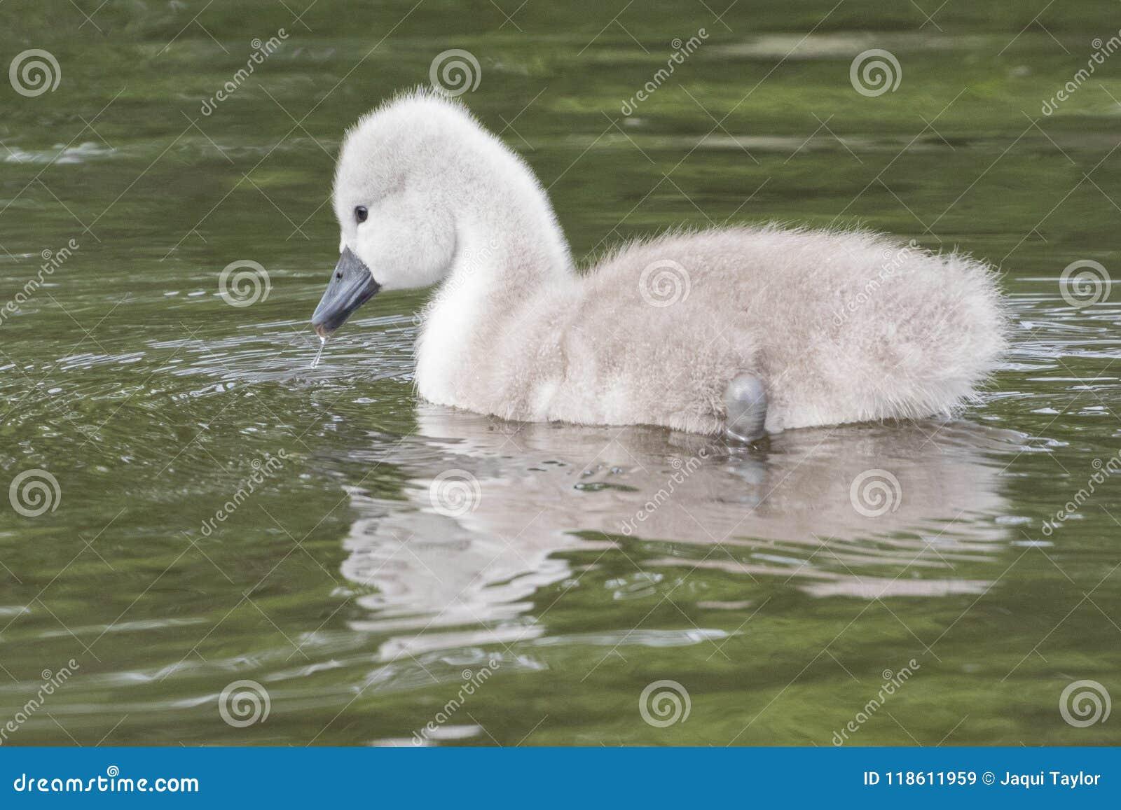 Een jonge zwaan op het water