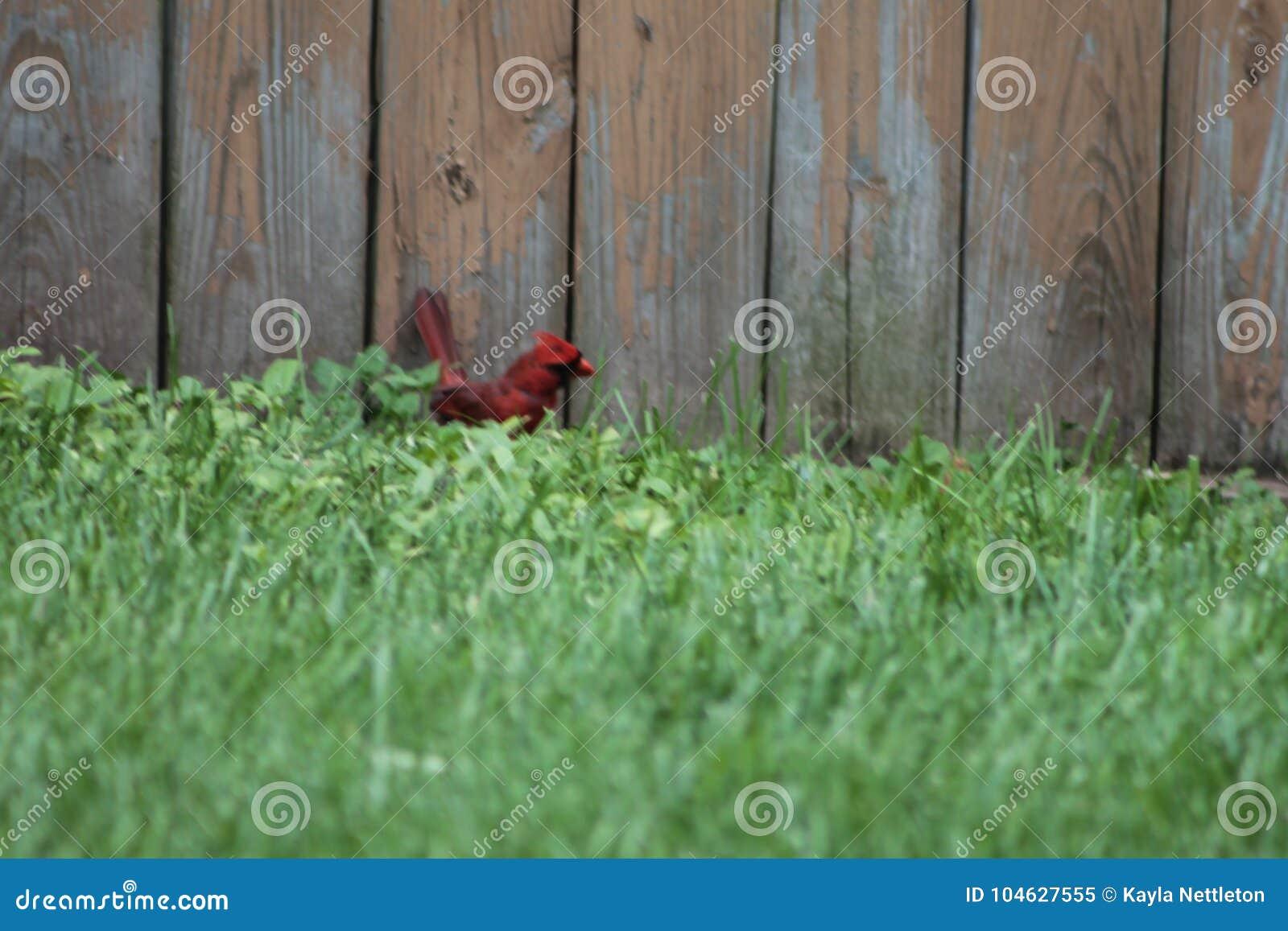 Download Een kardinaal in het gras stock afbeelding. Afbeelding bestaande uit birdie - 104627555