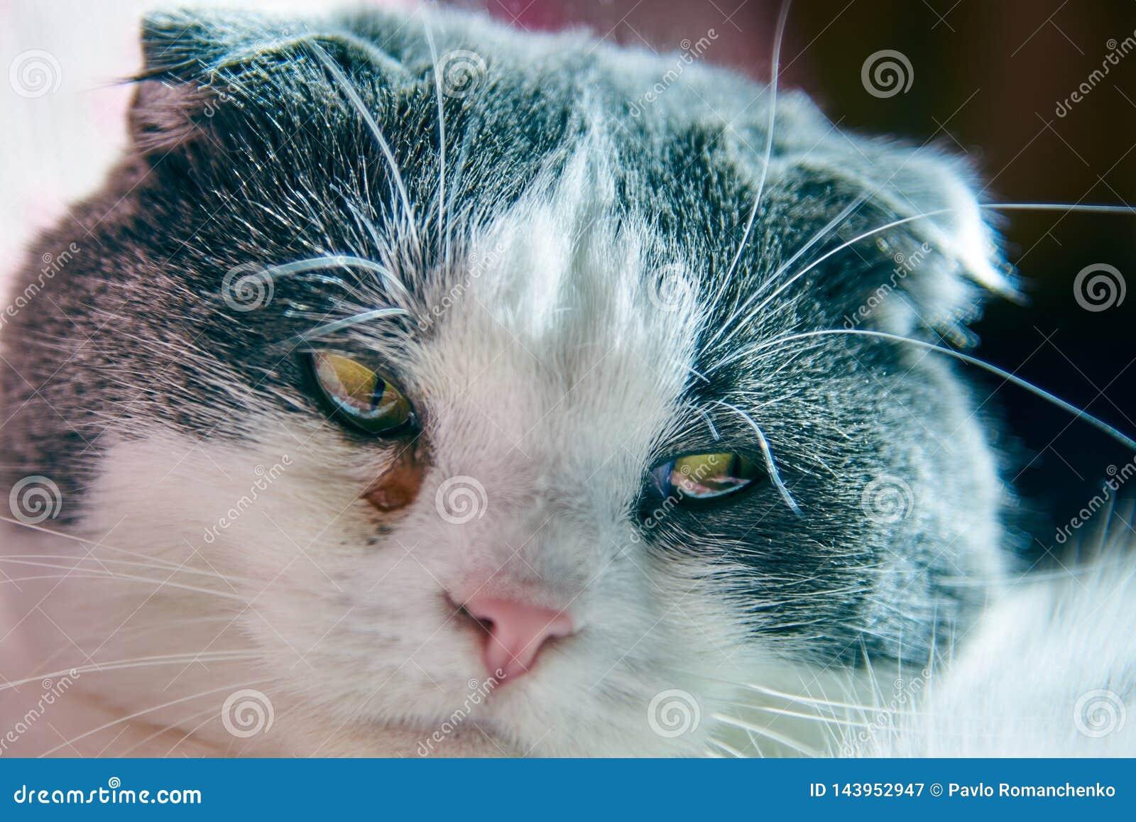 Een kat heeft een waterig oog, bindvliesontsteking, close-up