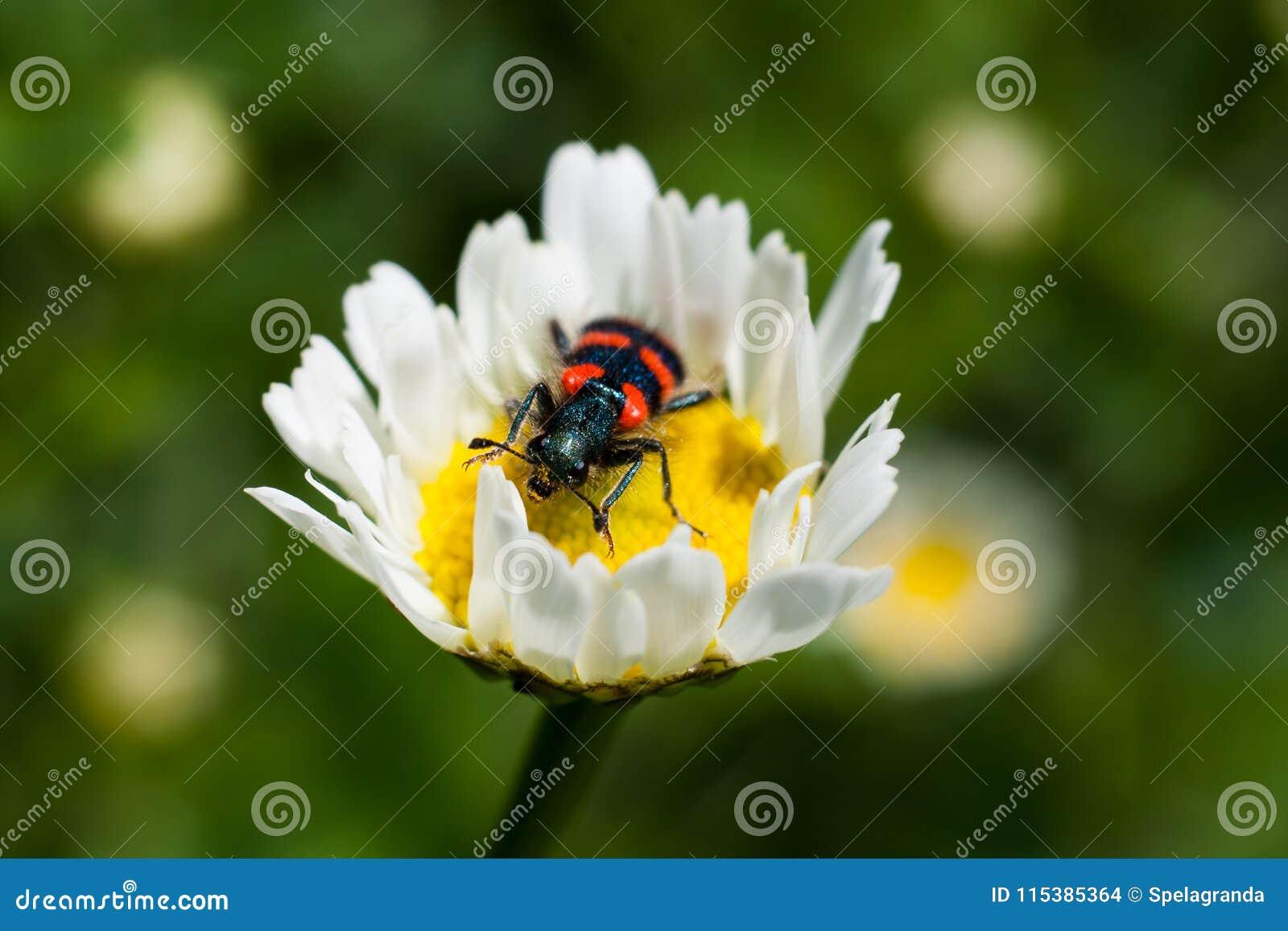 Een klein insect met rode en zwarte strepen
