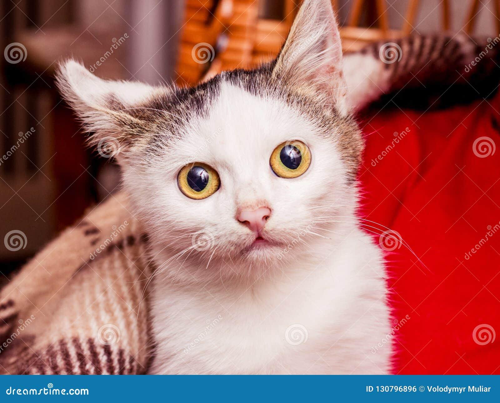 Een klein wit katje met grote ogen wordt verwarmd onder een plaid van hallo