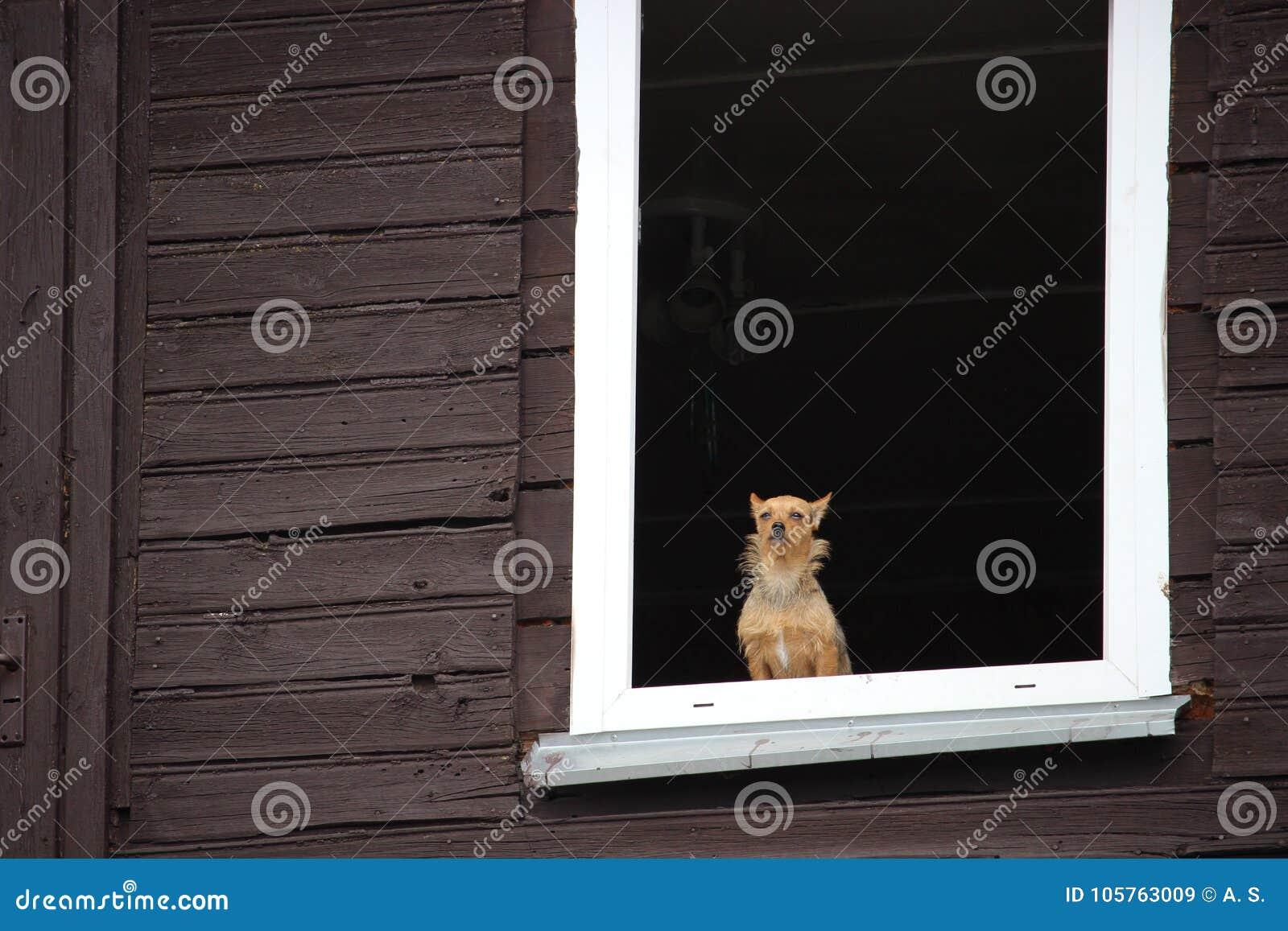 Een kleine bruine hond die calmly door het venster van oud blokhuis kijken