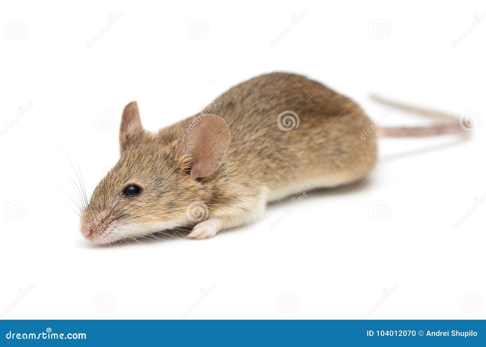 Een kleine die muis op een witte achtergrond wordt geïsoleerd