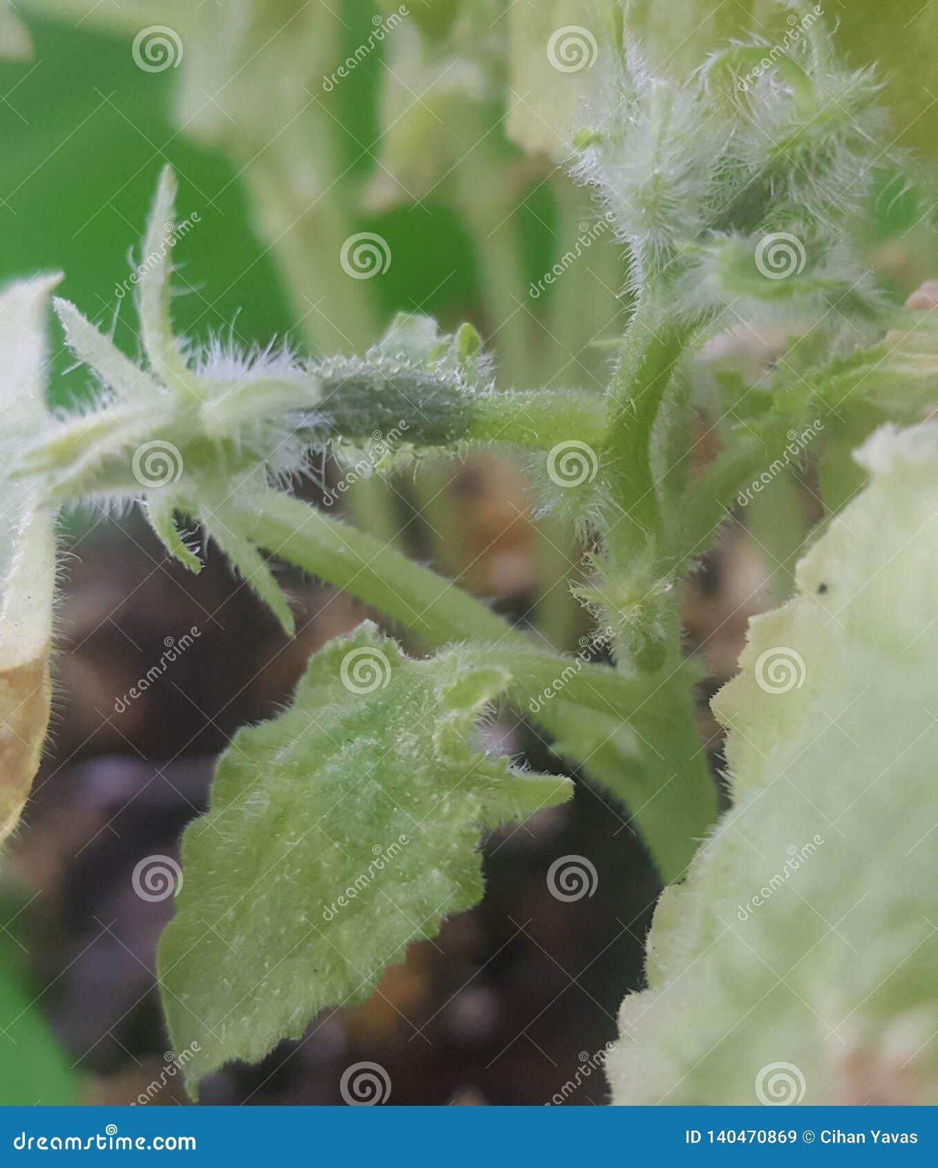 Een kleine komkommer is open it& x27; s ogen