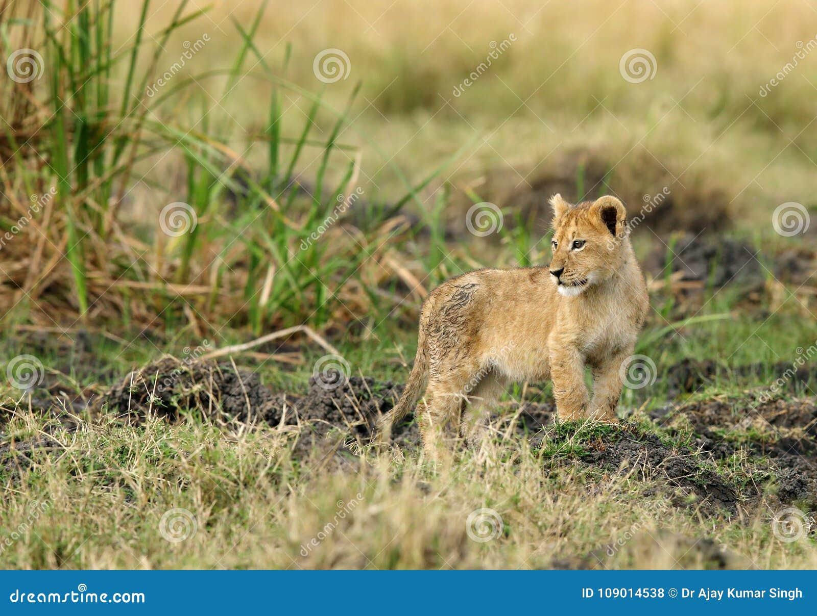 Een kleine leeuwwelp