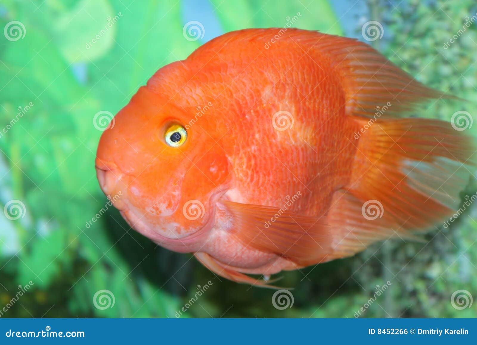 Een Kleurrijke Vis In Een Aquarium Royalty vrije Stock Afbeelding   Afbeelding  8452266