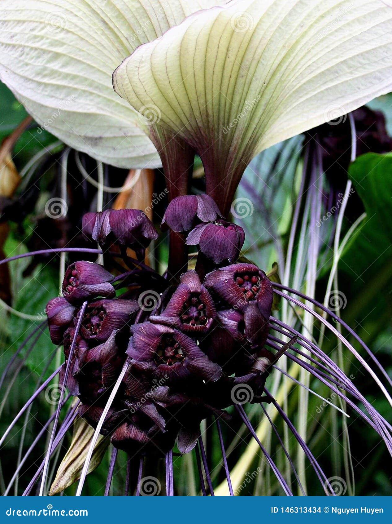 Een knuppel-als bloem, hoe mooi het kijkt
