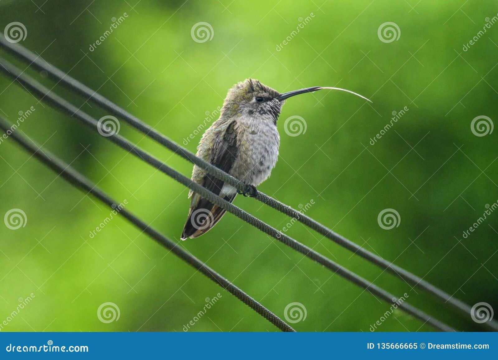 Een kolibrie plakt uit zijn tong