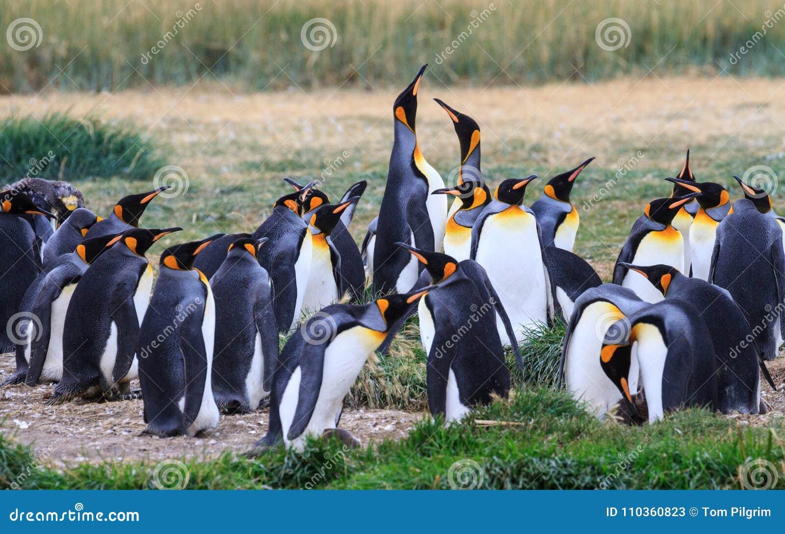 Een kolonie van Koning Penguins die, Aptenodytes-patagonicus, in het gras in Parque Pinguino Rey, Tierra del Fuego Patagonia rust