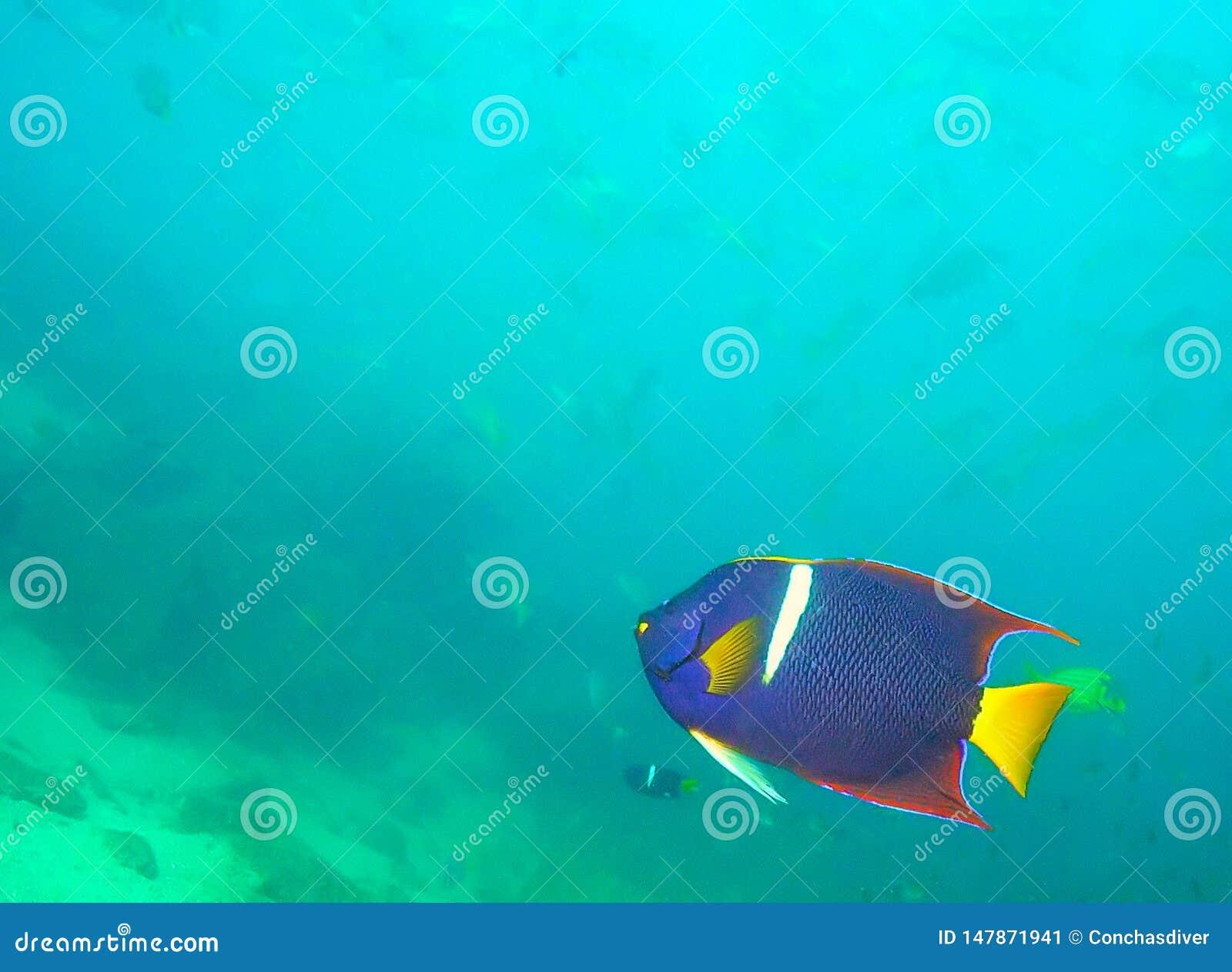 Een Koning Angelfish in de Golf van Californië