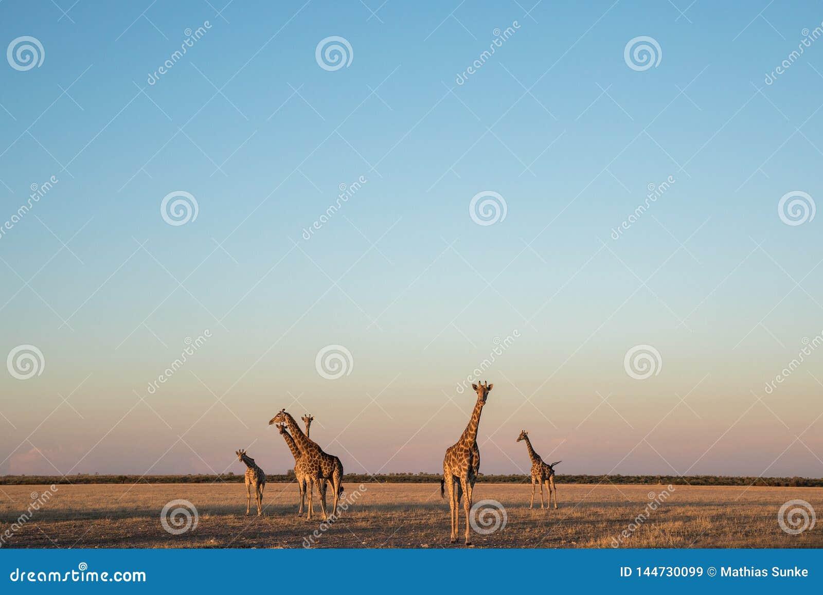 Een kudde van giraffen in de woestijn van Kalahari