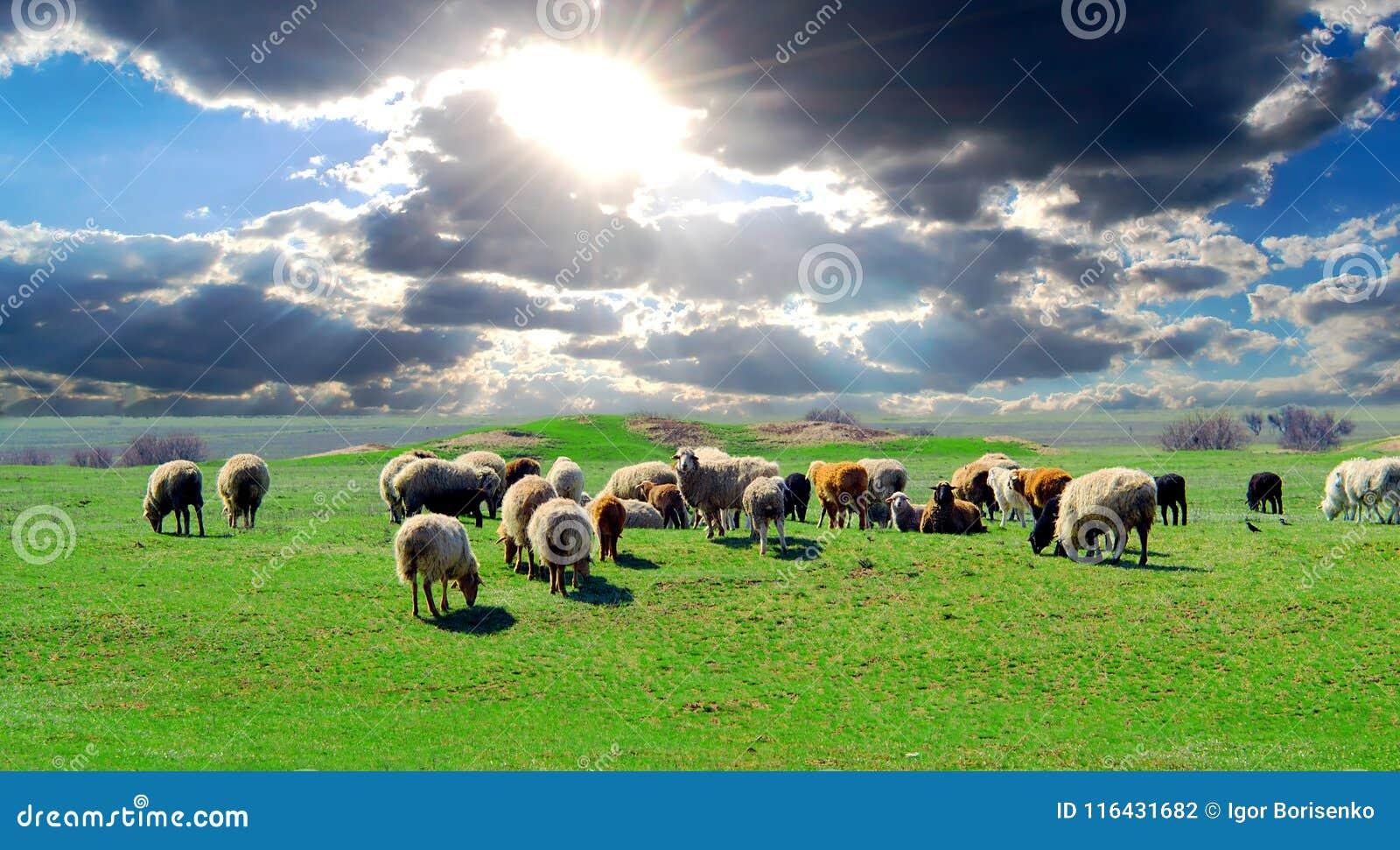 Een kudde van schapen die op een gebied met weelderig groen gras weiden