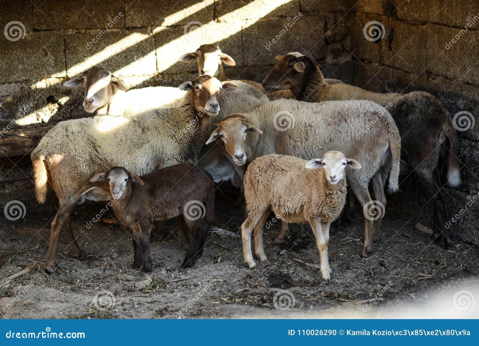 Een kudde van schapen die zich in een werf op een landbouwbedrijf bevinden
