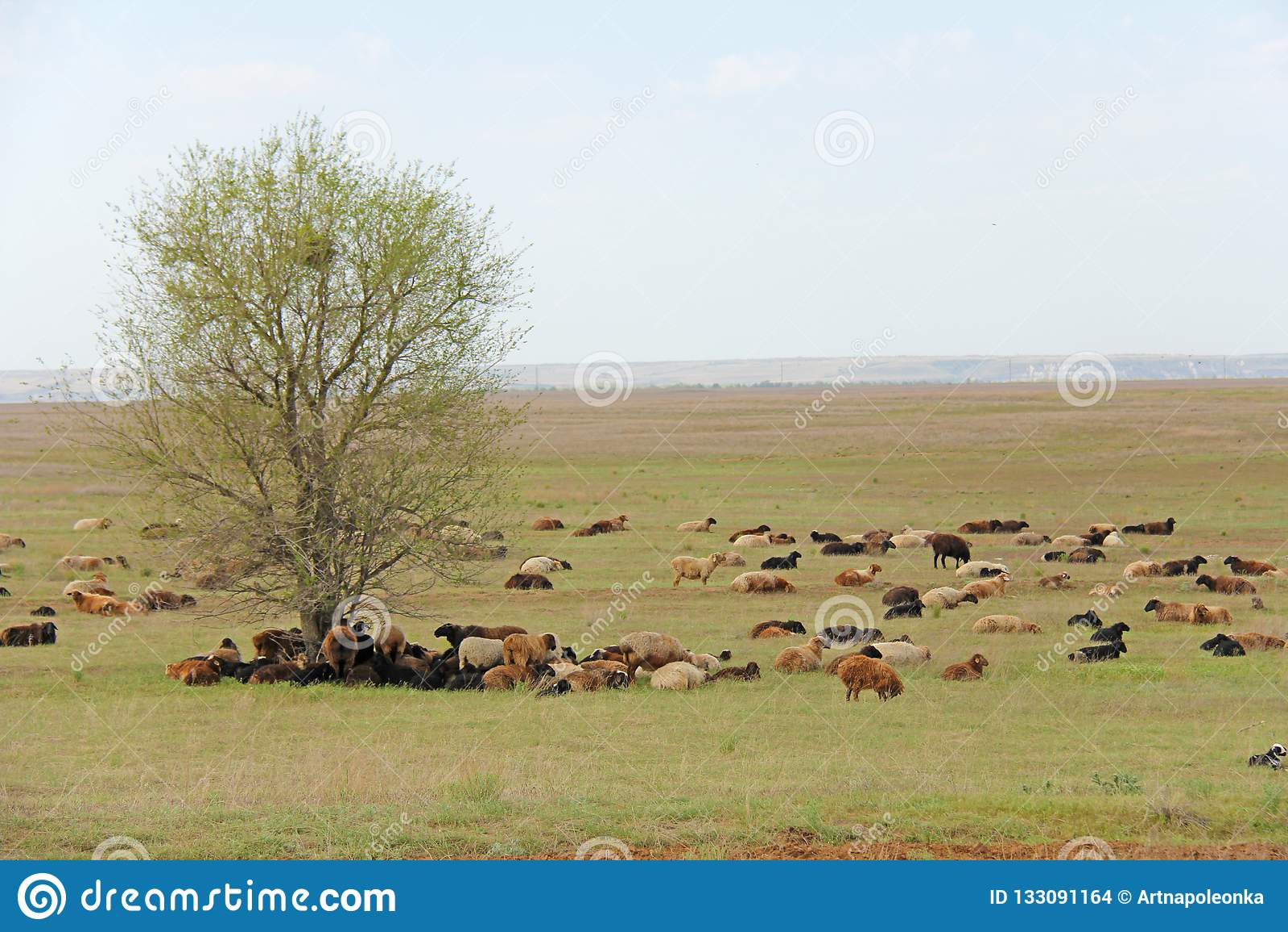 Een kudde van schapen en schapen die op een groen gebied weiden