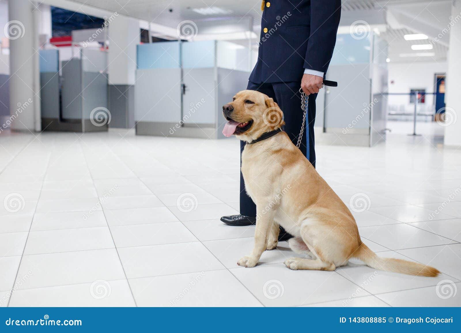 Een Labrador voor het ontdekken van drugs bij de luchthaven die zich dichtbij de douanewacht bevinden Horizontale mening
