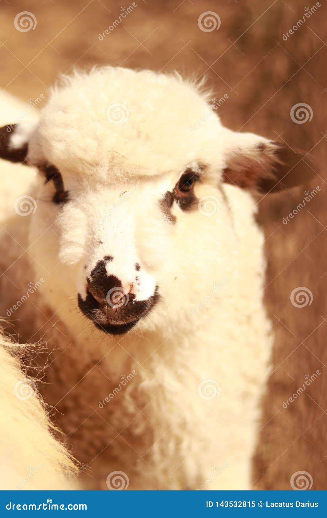 Een lam die dichtbij het blijven is troep