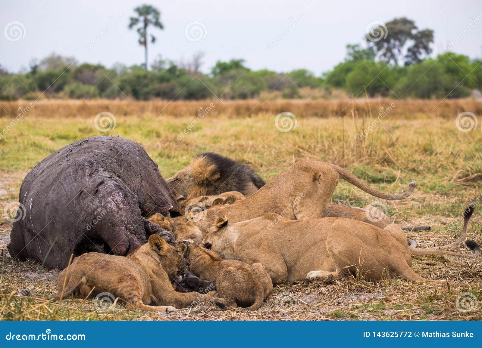 Een leeuwtrots met zijn doden