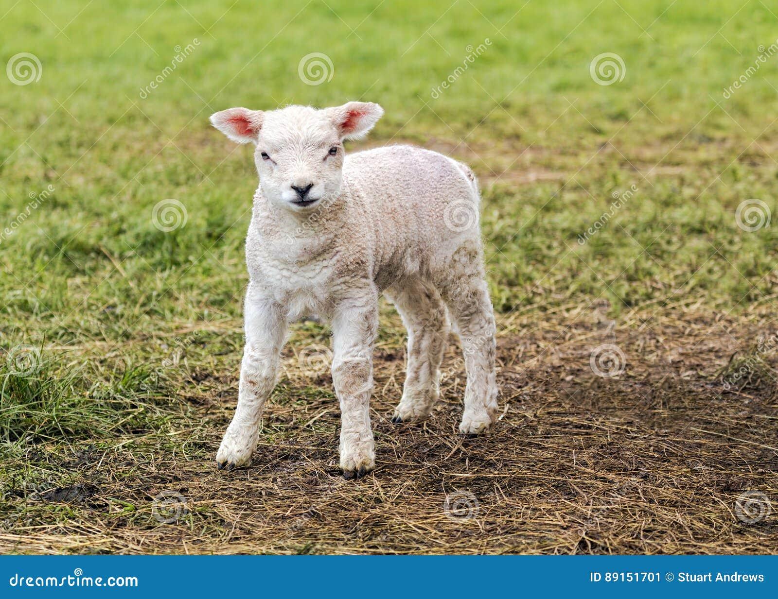 Een leuk lam