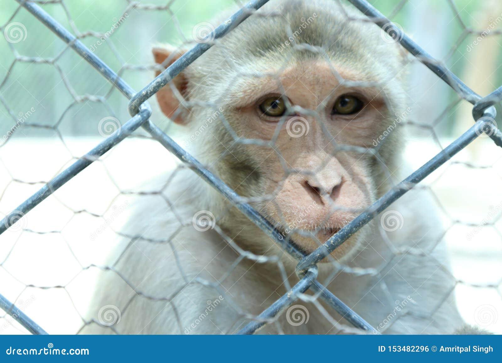 Een leuke aap leeft in natuurlijk van India