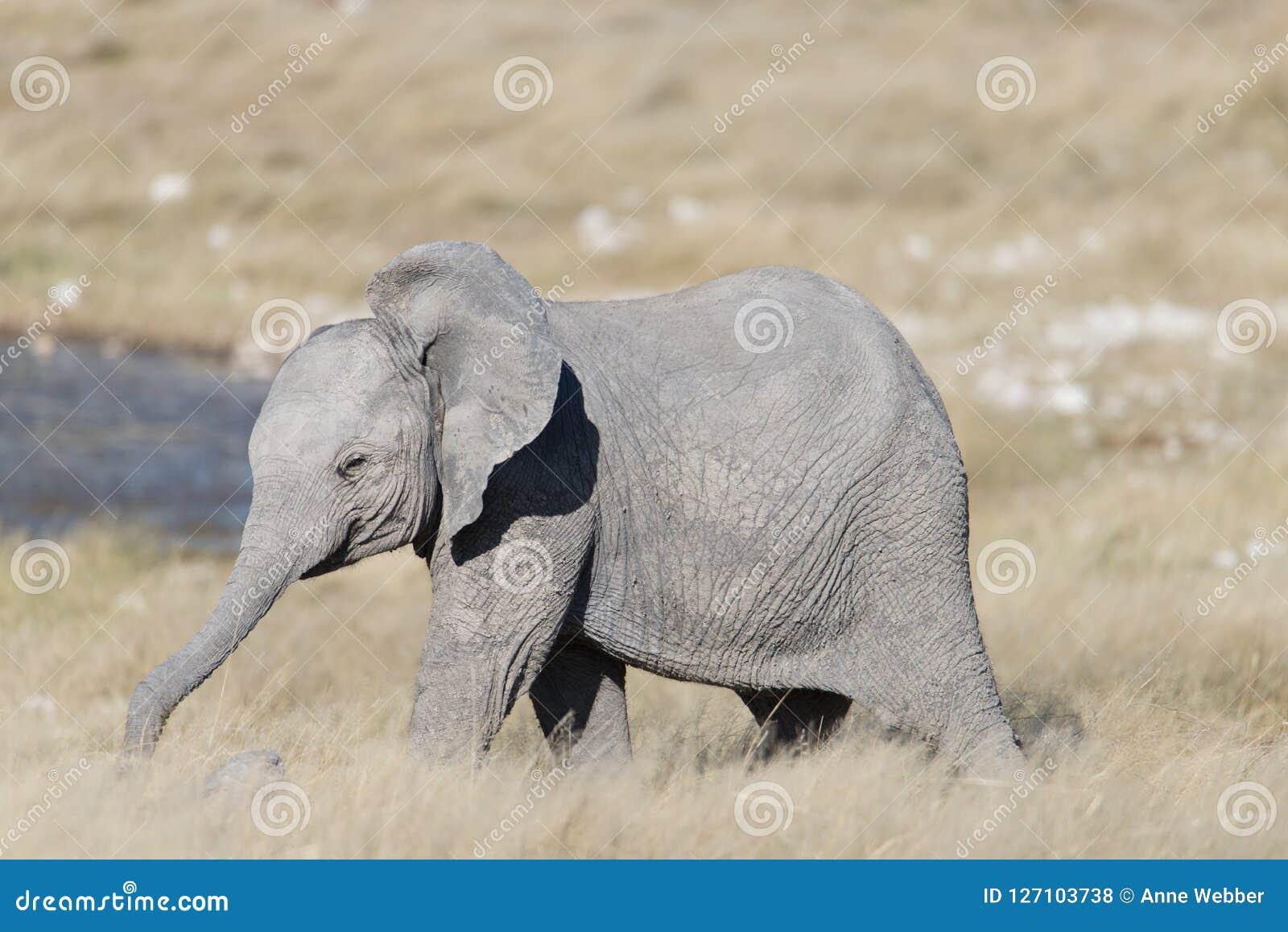 Een leuke babyolifant met zijn uitgebreide boomstam status voor een waterhole
