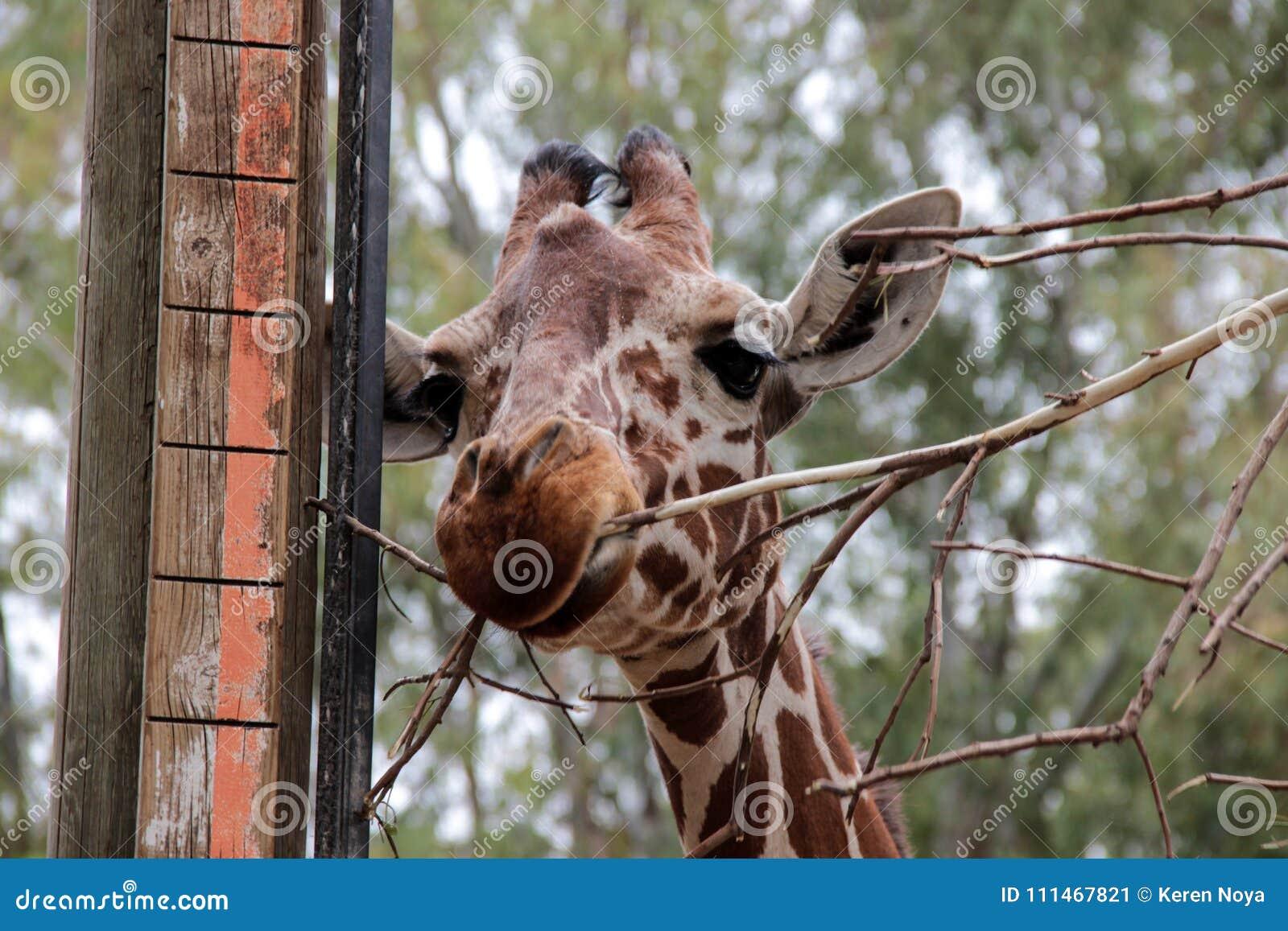 Een leuke bruine giraf die recht en een boomtak eten kijken