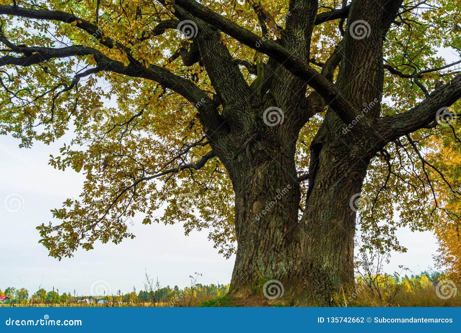 Een machtige oude oude eik, die zich alleen op de rand van een overblijfsel eiken bosje bevinden De gouden herfst, weelderig geel