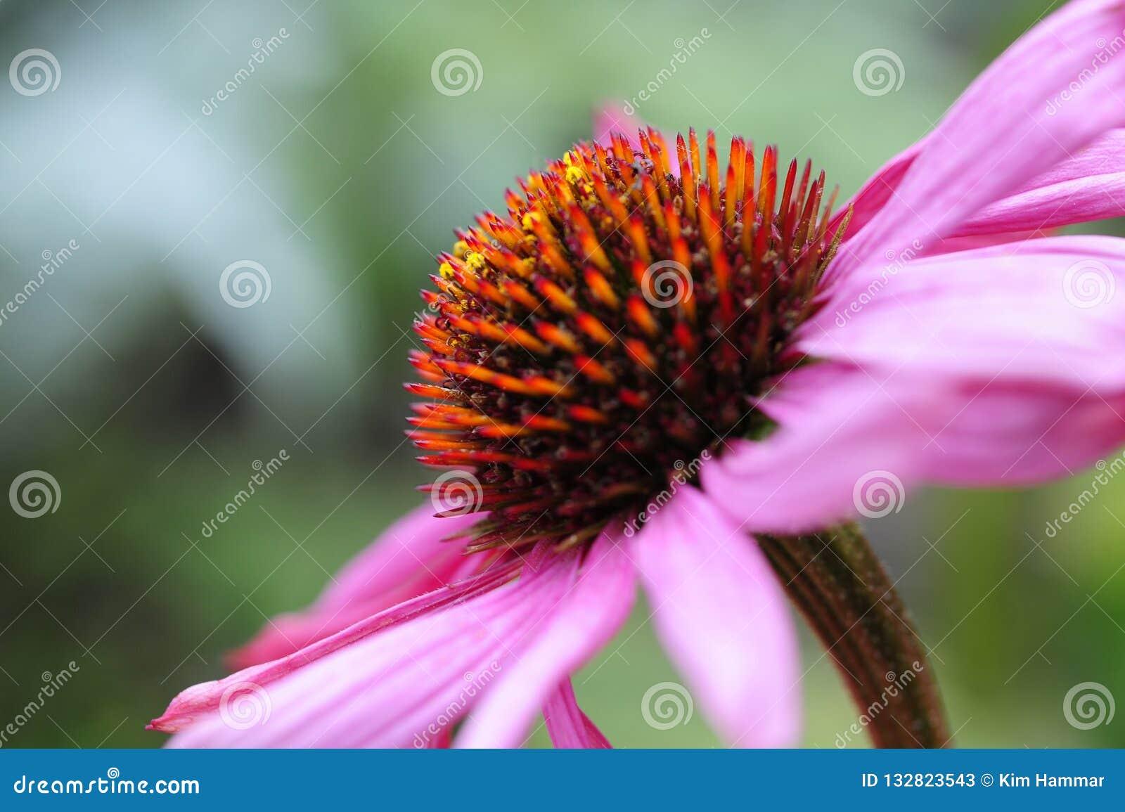 Een macro zijaanzicht van een purpere die coneflower, ook als Echinacea-purpurea wordt bekend