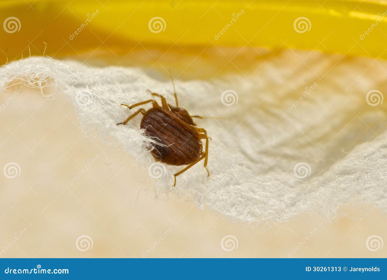 Het Insect van het bed