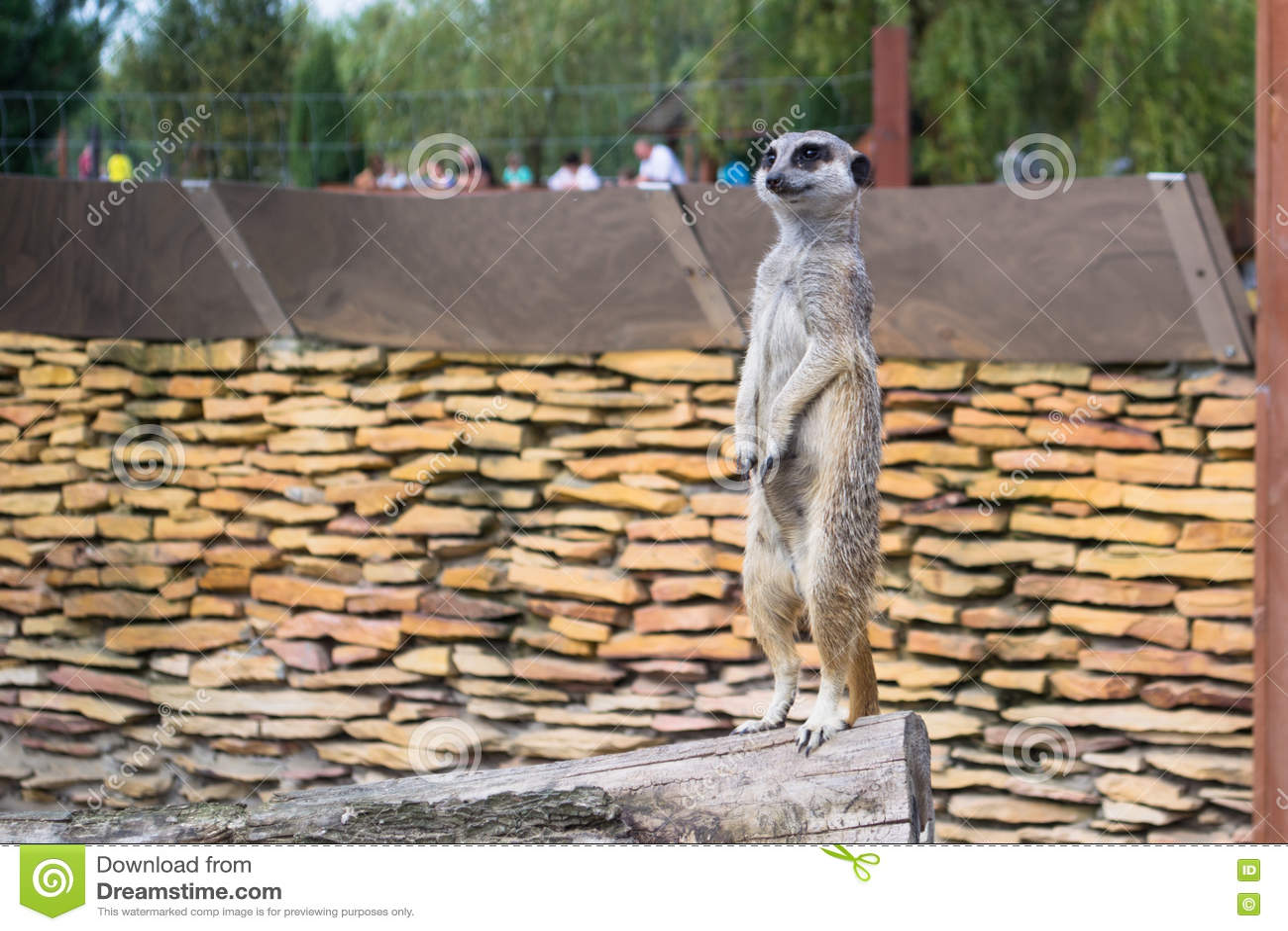 Een meerkat - inwoner van de woestijn