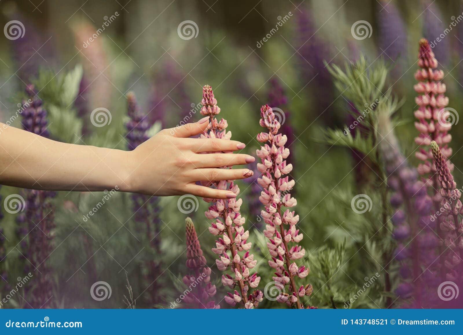 Een meisje met een mooie manicure raakt een bloem op een gebied van lupines