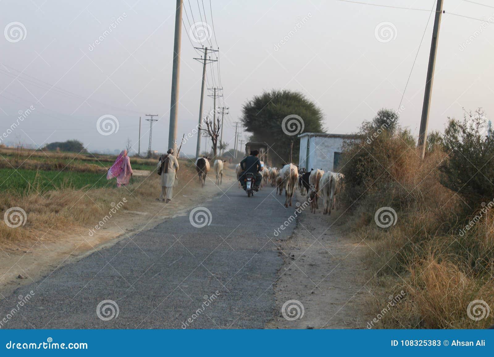 Een mening van landweg in Punjab, de koeien en de mensen zijn samen