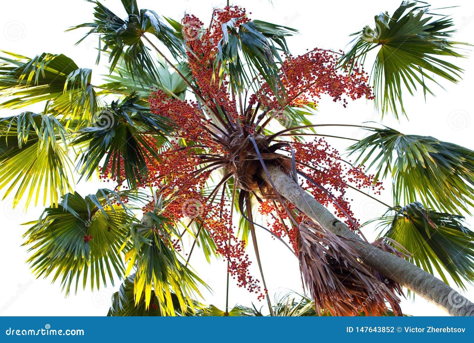 Een mening van een palm van onderaan met rode vruchten in het contralicht