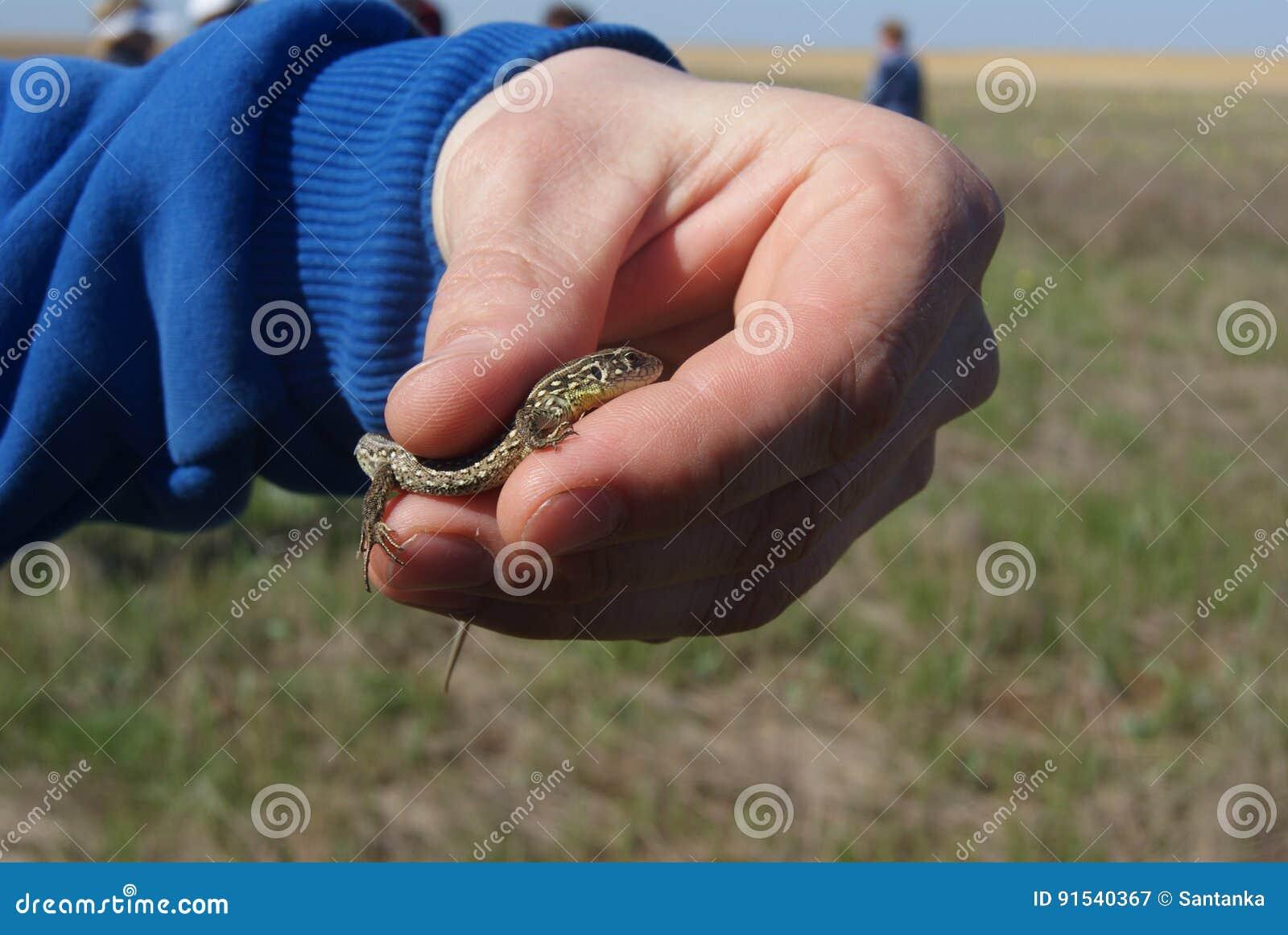 Een mens die vriendelijk met naakte handen een jonge bevlekte of eyed hagedis, Timon-lepidus, vroegere Lacerta-lepida houden