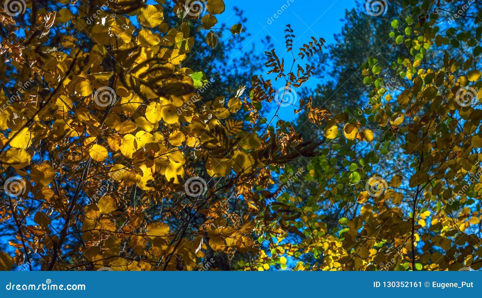Een Middag in Autumn Forest Looking Up The Crown van Groene, Gele, Gouden Bladeren met Sunny Highlights Autumn Colors, Chan