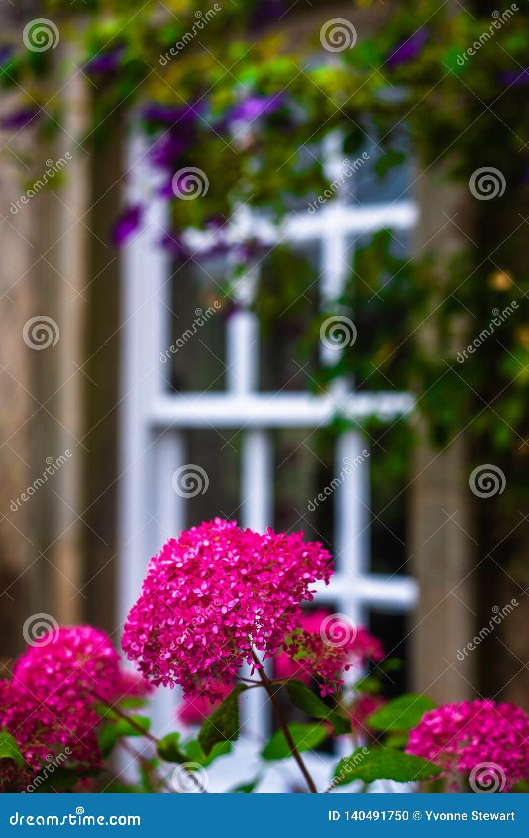 Een Mooie Britse Tuin van het Land met Magenta Bloemen voor een Traditioneel Ontworpen Venster