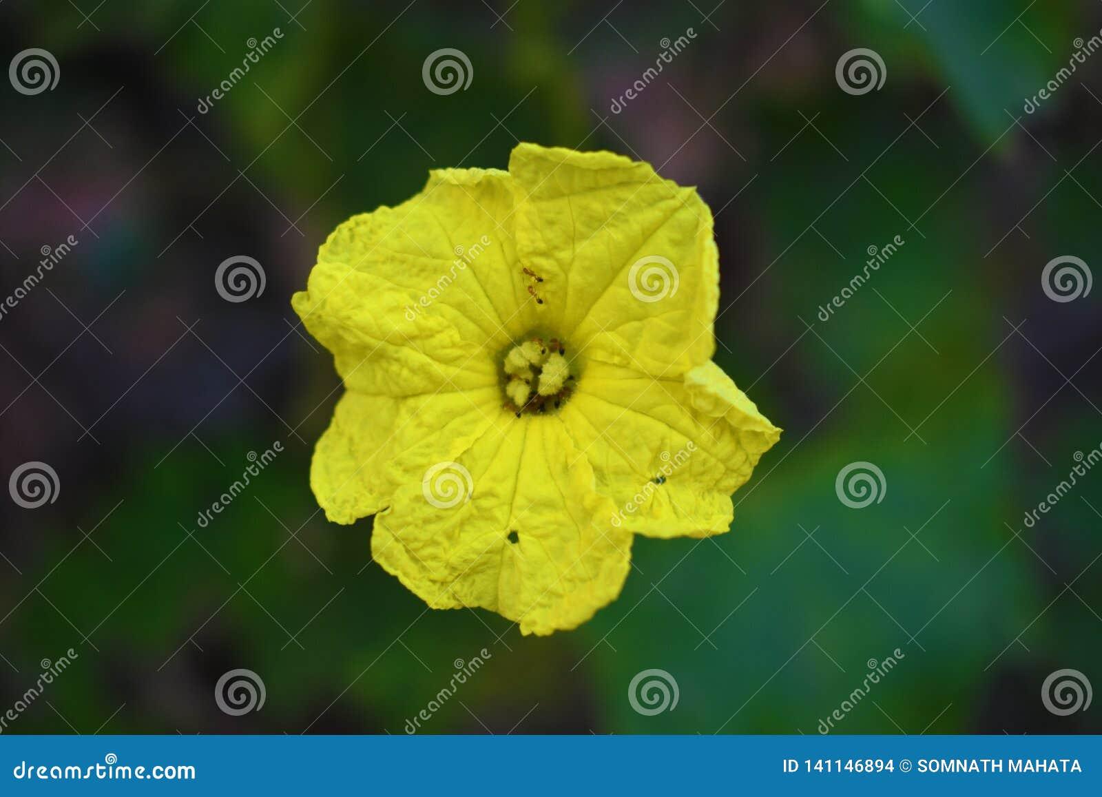 Een mooie gele die bloem op donkere achtergrond wordt geïsoleerd