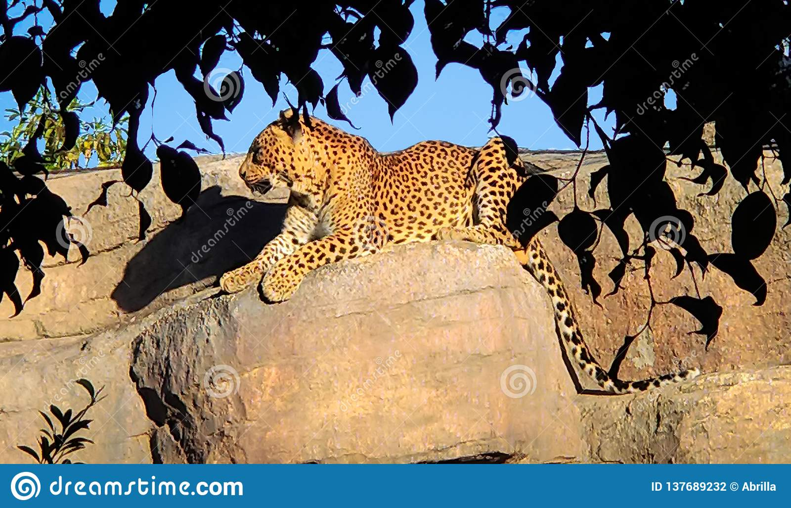 Een mooie grote luipaard ligt stil op een rots