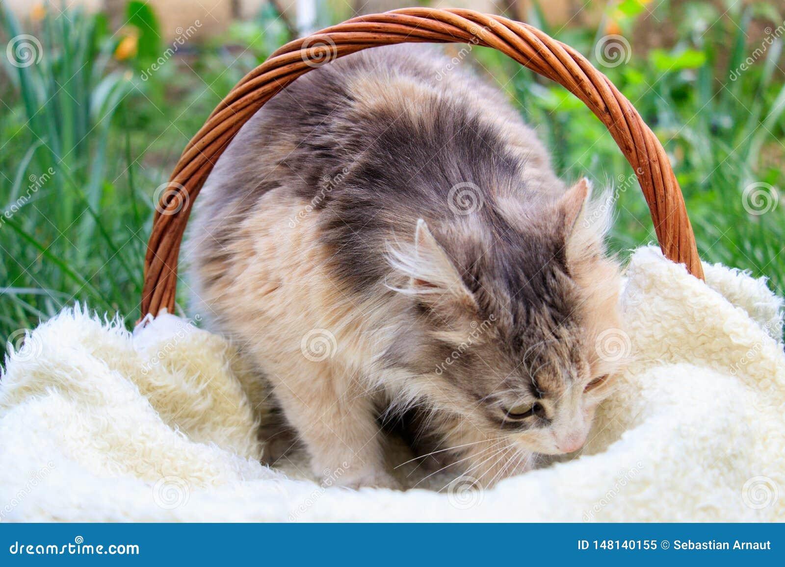 Een mooie kleurrijke kat die in een mand liggen