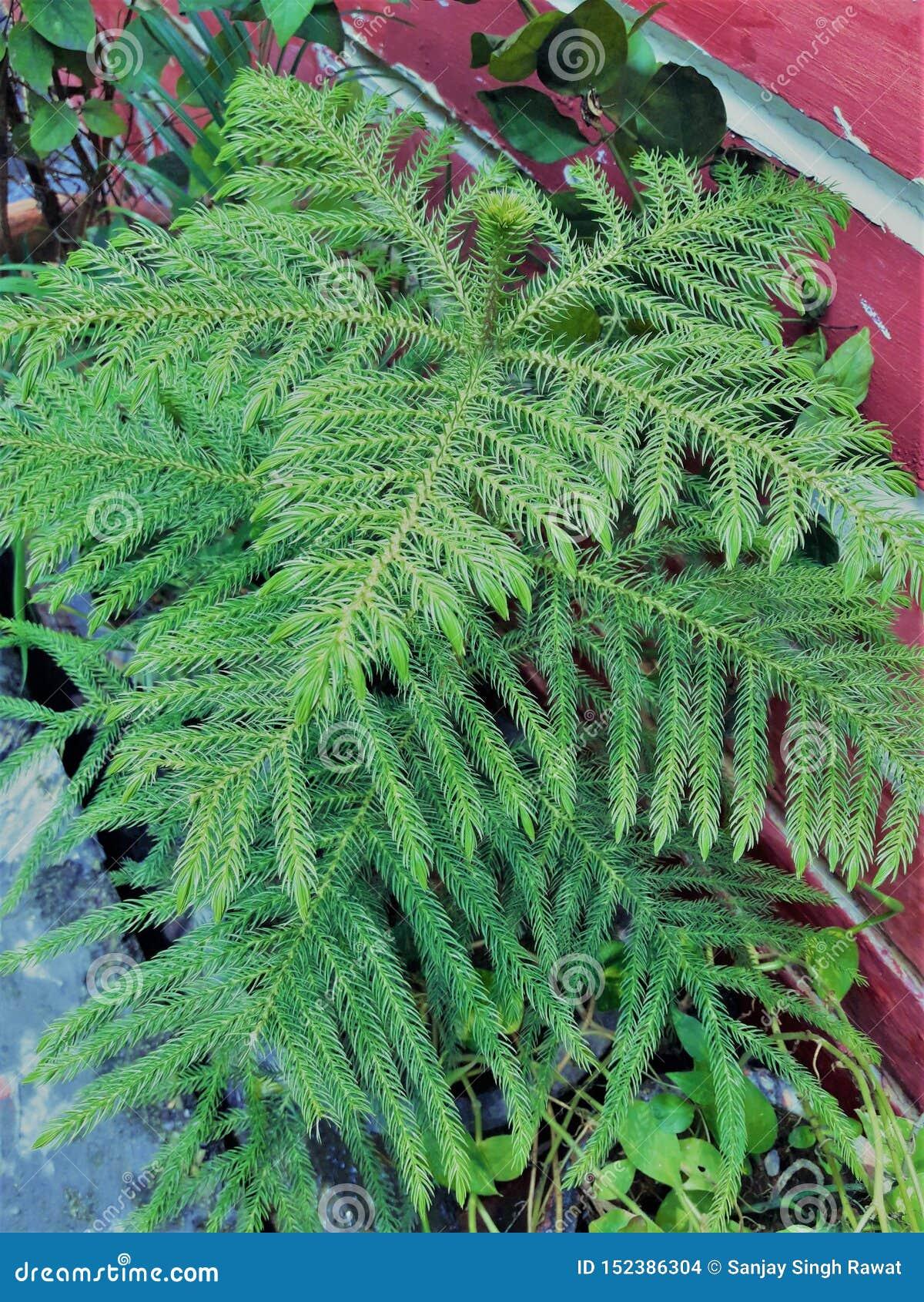 Een Mooie Struisvogel Fern Green Plant