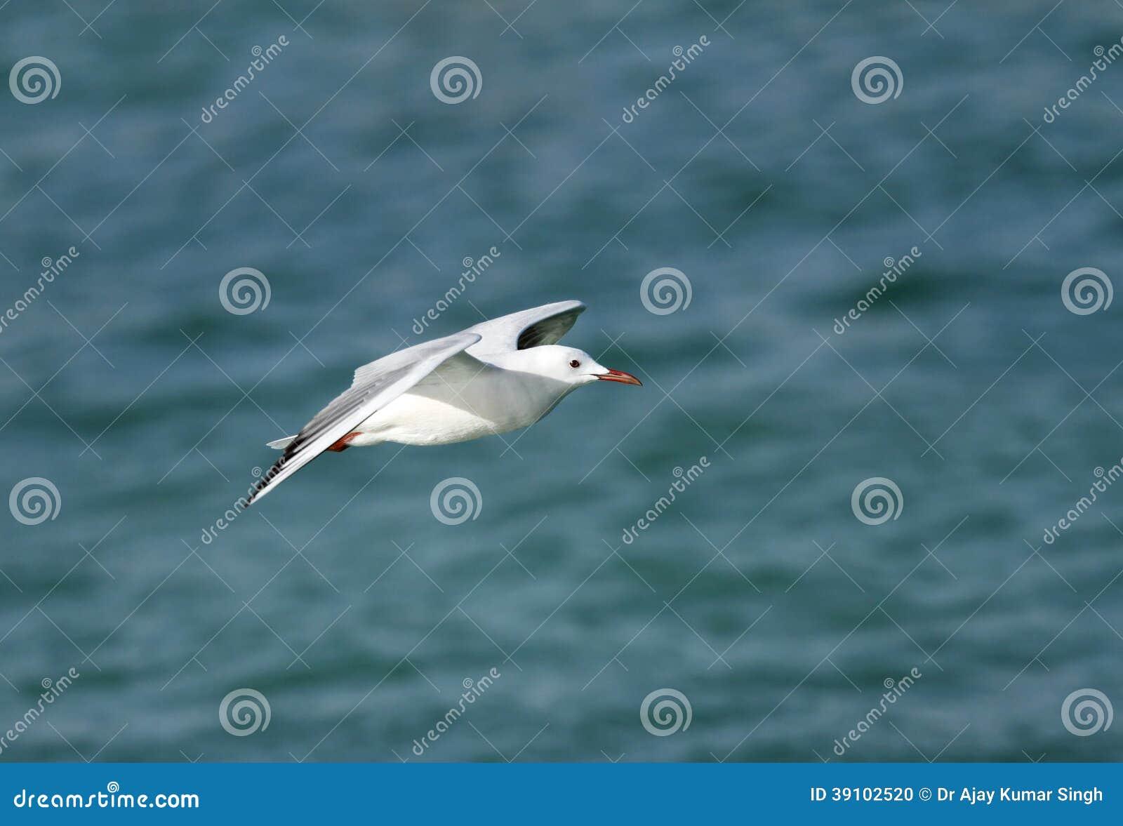 Een mooie witte geleide zeemeeuw tijdens de vlucht