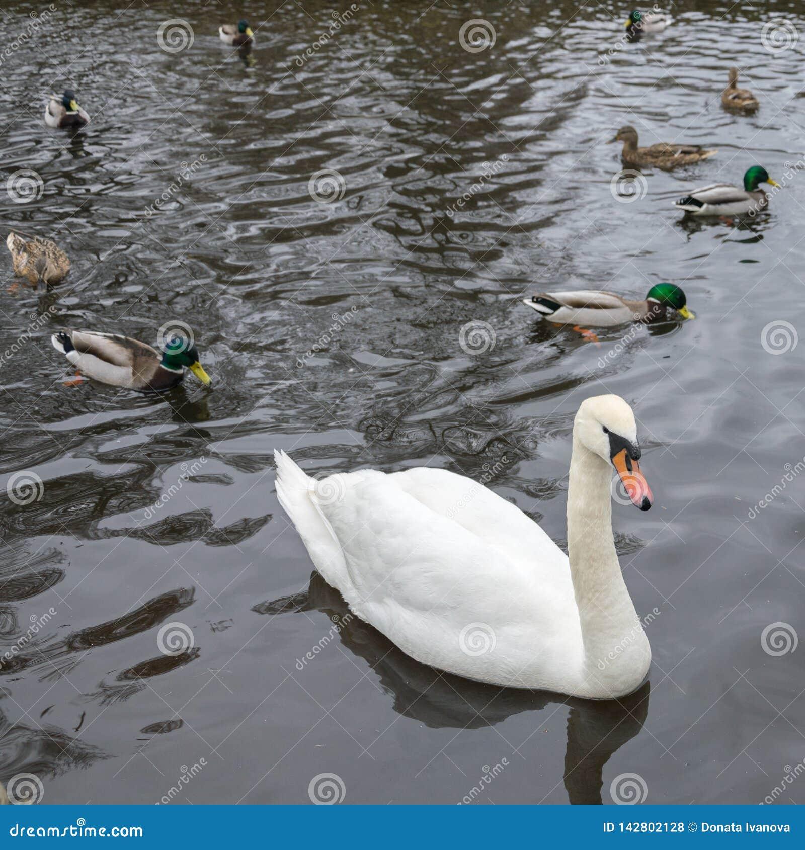 Een mooie witte zwaan zwemt op een meer in het bedrijf van eenden en mannetjeseenden