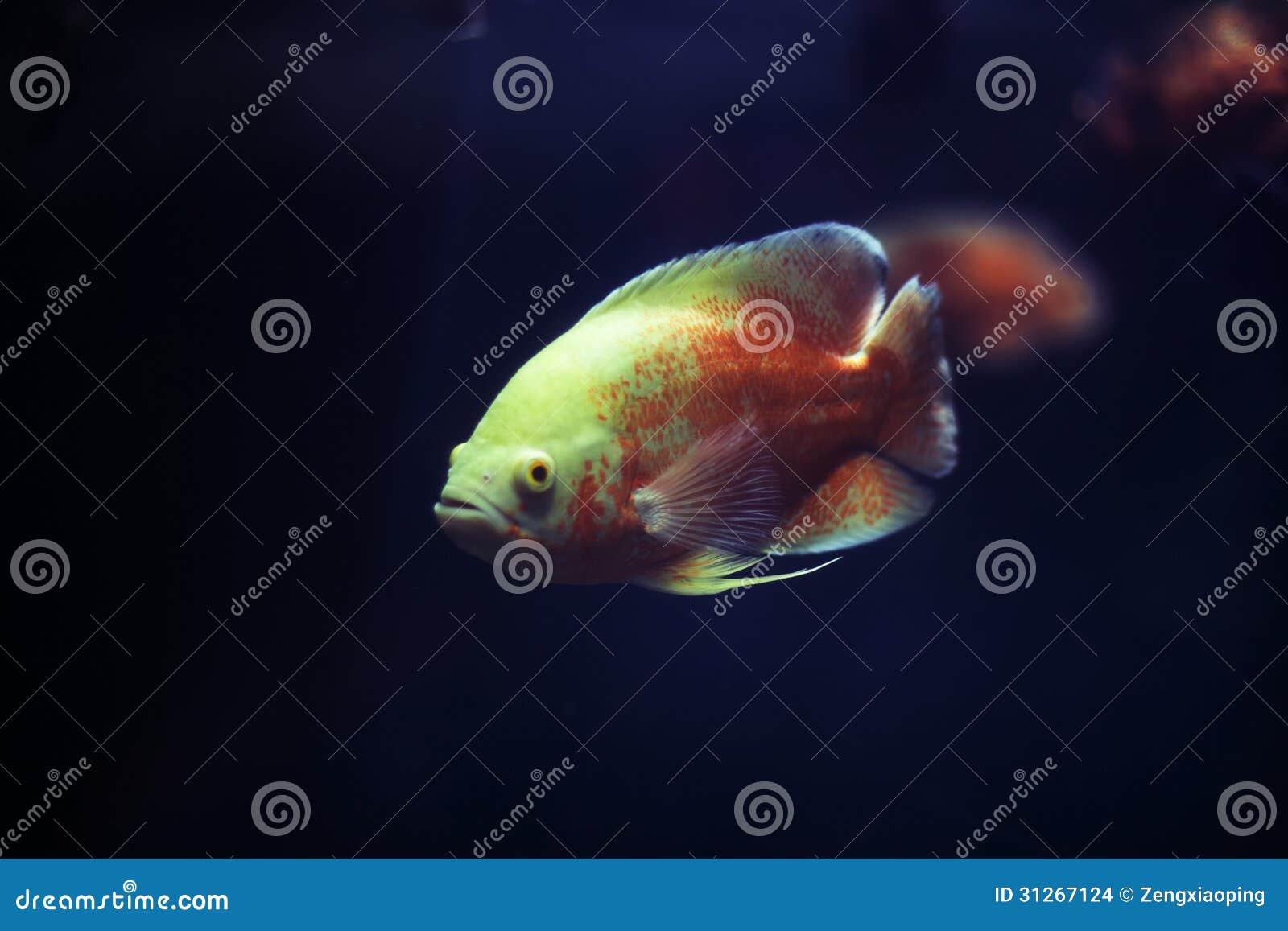 Een Nieuwsgierige Vis In Het Aquarium  Stock Afbeeldingen   Afbeelding  31267124