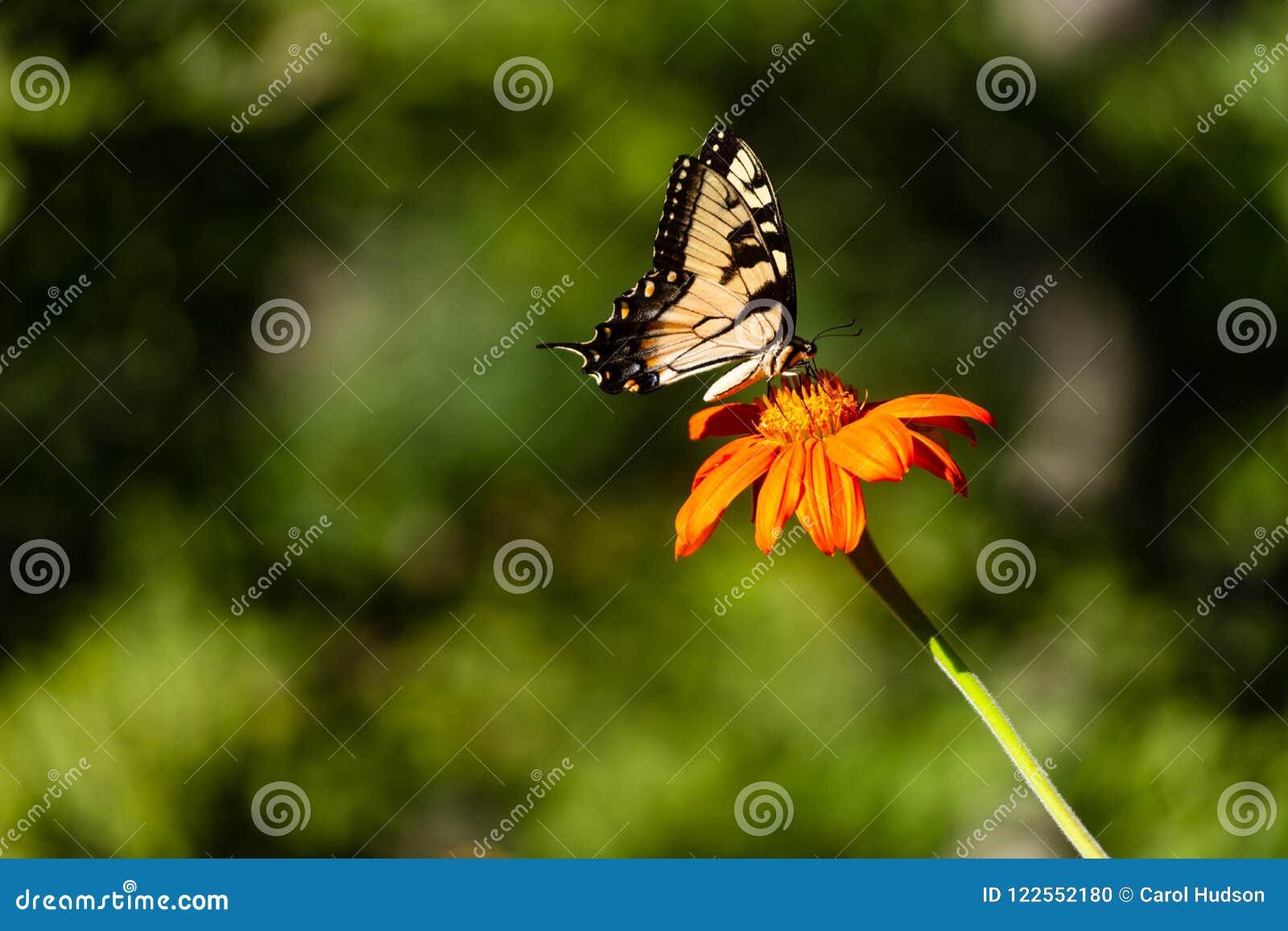Een Oostelijke Tiger Swallowtail-vlinder op een oranje bloem
