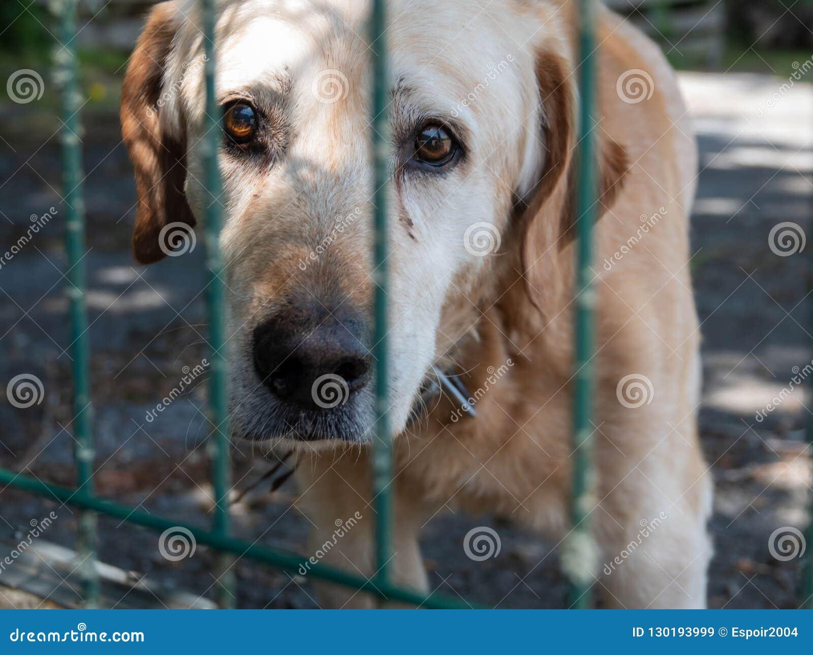Een oude bastaarde hond kijkt droevig door de rooster van een dierlijke schuilplaats
