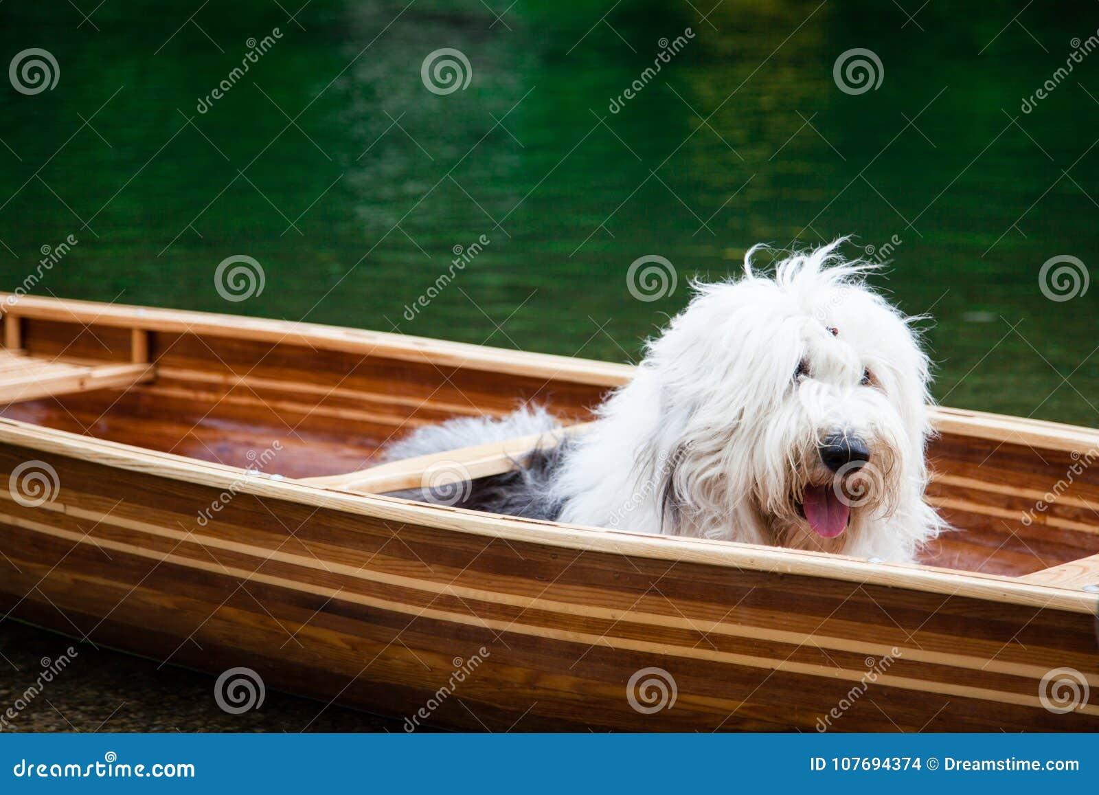 Een oude Engelse herdershond die in een kano wachten