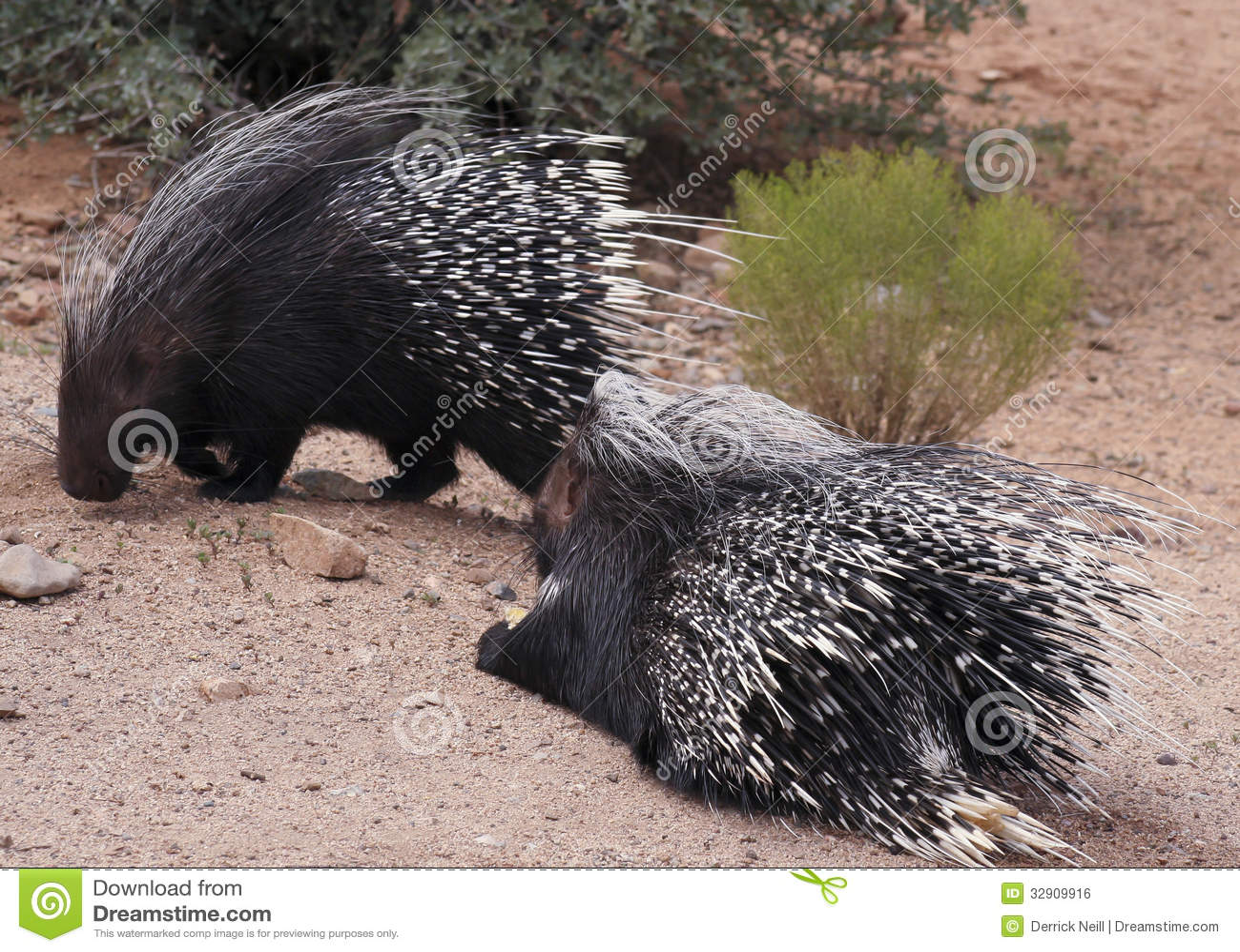 Een Paar Afrikaanse Kuifstekelvarkens
